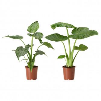 IKEA ALOCASIA Planta naturala, planta, asortate, 19 cm