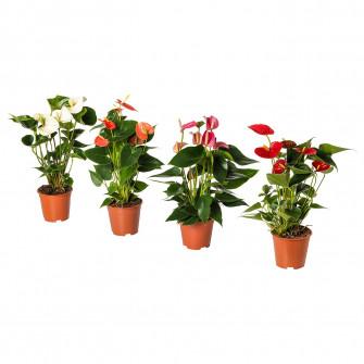 IKEA ANTHURIUM Planta naturala, Floarea Flamingo( Anthu