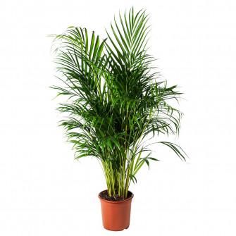 IKEA DYPSIS LUTESCENS planta naturala