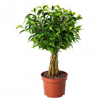 IKEA FICUS BENJAMINA 'NATASJA' planta naturala