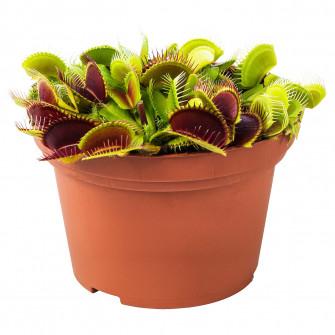 IKEA GRONSKAN Planta naturala, planta carnivora, asorta