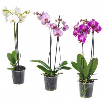 IKEA PHALAENOPSIS Planta naturala, Orhidee, 2 tulpini,