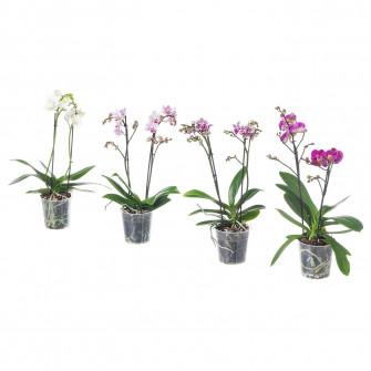 IKEA PHALAENOPSIS Planta naturala, Orhidee, flori 2 tul