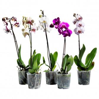 IKEA PHALAENOPSIS planta naturala