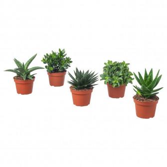 IKEA SUCCULENT Planta naturala, asortate, 15 cm