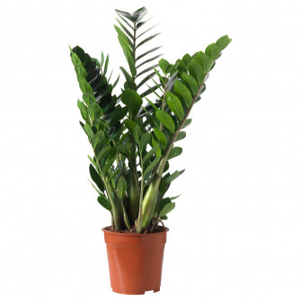IKEA ZAMIOCULCAS Planta naturala, Zamioculas, 21 cm